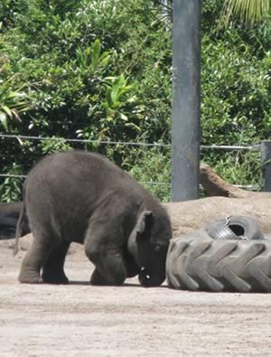Sydney born elephant, Luk Chai